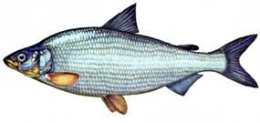 рыба фото пелядь